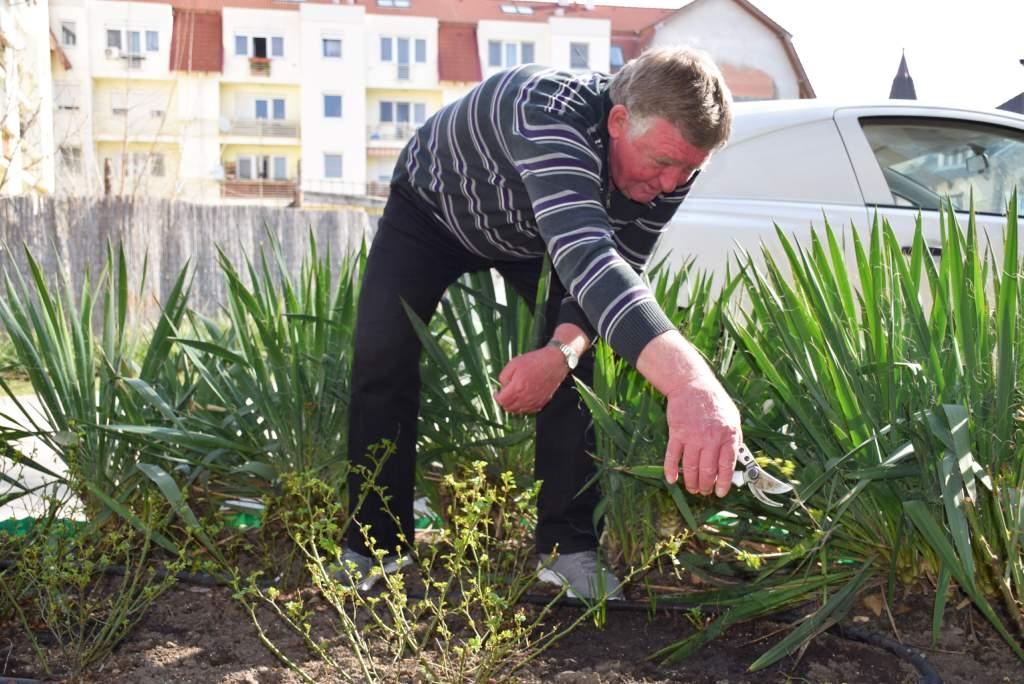 Rendbe rakták a közterületi növényeket a Wojtyla Ház környezetében