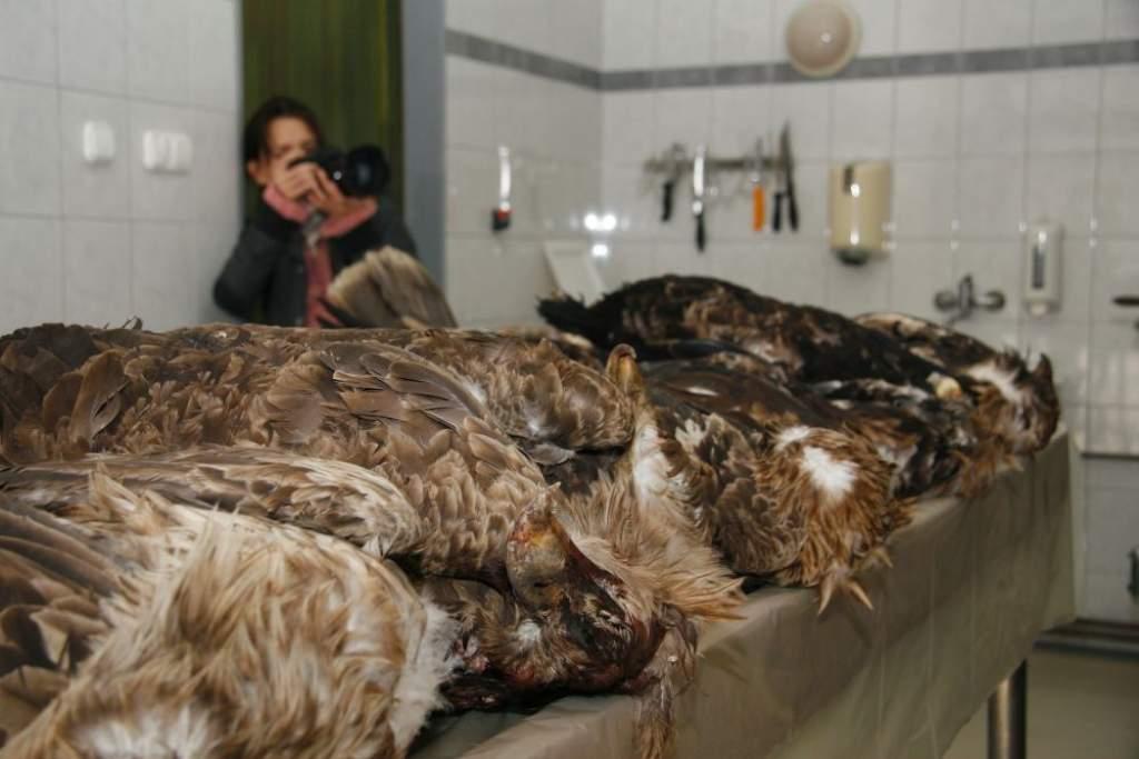 Soha nem látott ragadozómadár-pusztítás az év első hónapjaiban- 100 ezer forint jár a nyomravezetőknek