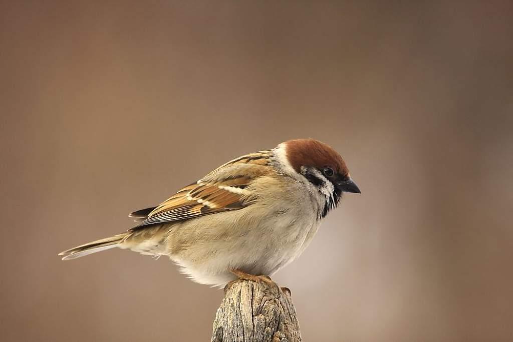 300 millió madár tűnt el az agrárélőhelyekről