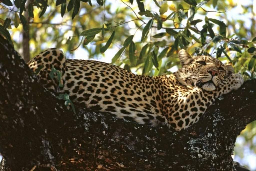 2300 leopárd vére áztatja az indiai erdőket