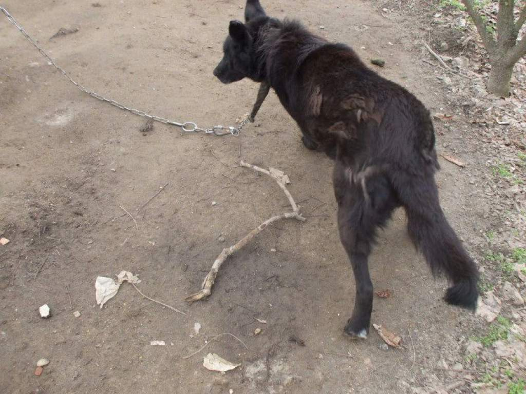 Nyakába nőtt a pórázként használt lánc a már büdösödő kutyának.