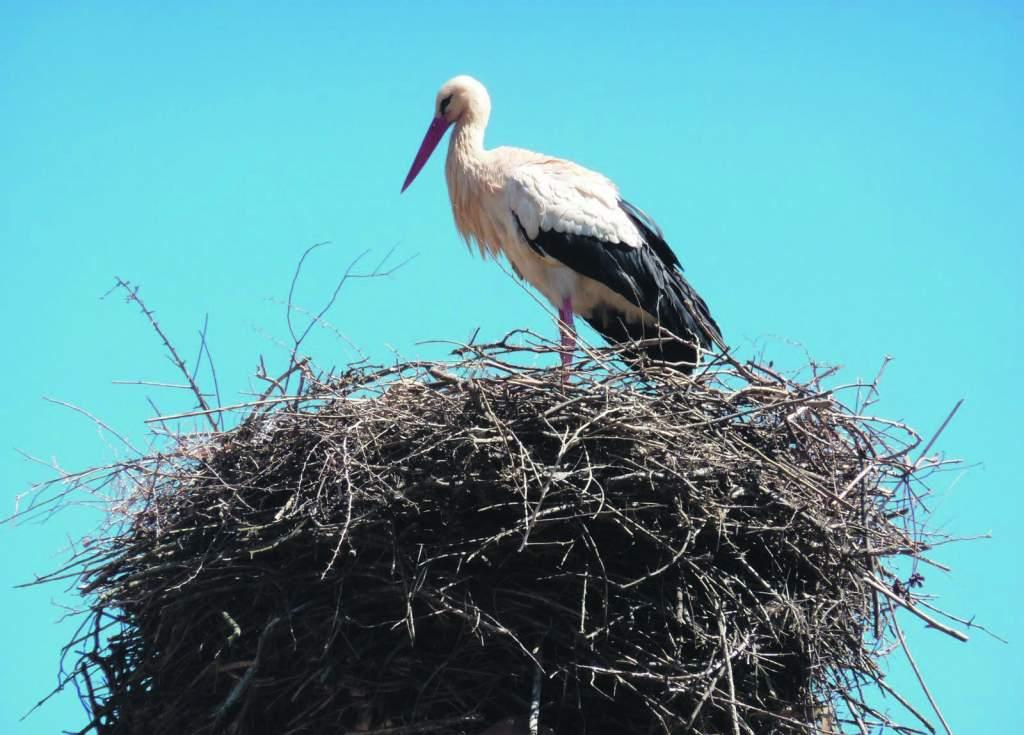 Felhívás – március végéig lehetséges magasító állványra helyezni a veszélyes fehérgólya-fészkeket!